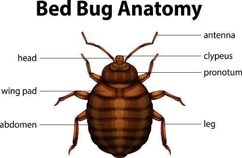 Bed Bug Biology Anatomy By Xceptional Bed Bug Experts